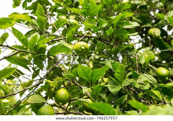 closeup of lemon on a tree