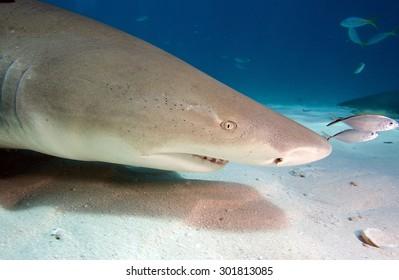Close-up of a Lemon shark's profile