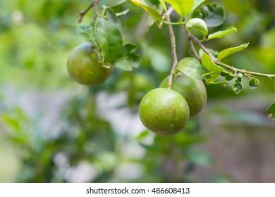 closeup lemon tree, organic lemon in asian country