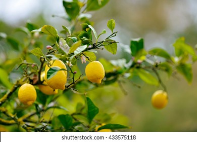 Close-up of lemon tree in spring