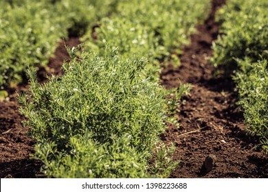 Close-up of a lentil plant in a field