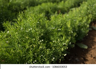 Close-up of lentil plant with white flowers. Lentil field