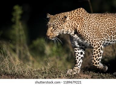 Closeup of Leopard Koboso at Masai Mara, Kenya