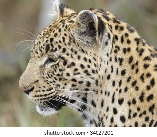 Close-up of Leopard looking side-ways; Panthera pardus; South Africa