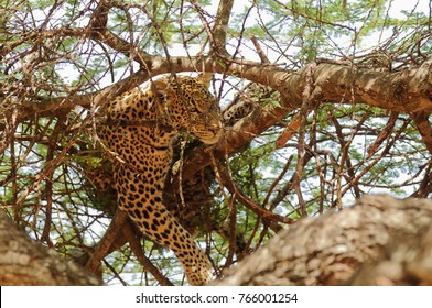 "Closeup of a  Leopard (scientific name: Panthera pardus, or ""Chui"" in Swaheli) image taken on Safari located in the Tarangire National park in the East African country of Tanzania"