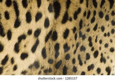 close-up of leopard skin