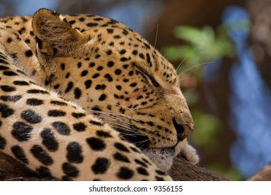 Close-up of Leopard sleeping in tree; Panthera pardus; South Africa