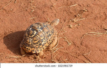 "Closeup of Leopard tortoise (scientific name: Testudo pardalis, or ""Mzee kobe"" in Swaheli) in the STarangire National park, Tanzania"