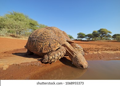 Close-up of a leopard tortoise (Stigmochelys pardalis) drinking water, South Africa