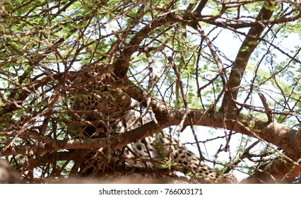 "Closeup of a  Leopard up a tree (scientific name: Panthera pardus, or ""Chui"" in Swaheli) image taken on Safari located in the Tarangire  National park in the East African country of Tanzania"