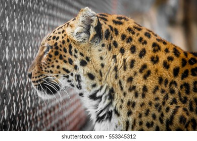 Close-Up Of Leopard In Zoo.
