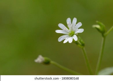 Closeup of Lesser Stitchwort (Stellaria graminea) flower. Stellaria graminea is a species of flowering plant in the family Caryophyllaceae.