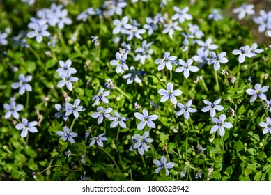 Closeup of light blue flowers blooming on creeping blue star ground cover