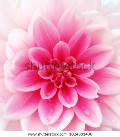Closeup light pink dahlia flower stock photo edit now 1024881430 closeup of a light pink dahlia flower izmirmasajfo