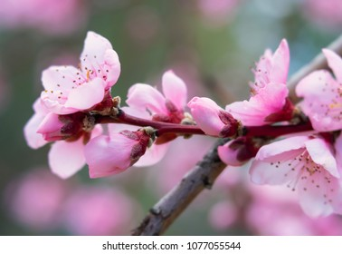 Close-up of light pink Peach tree flower blossoms with soft focus tones in background. Photo shot locally in Colorado April 2018.