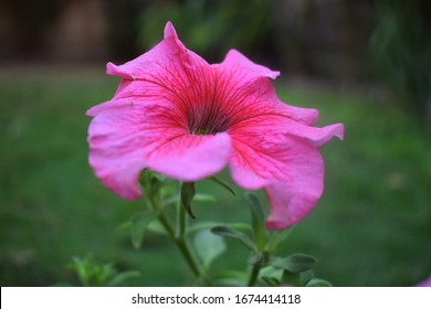 Closeup of light pink petunia flower, celebrity petunia, mirage petunia, Surfinia pink petunia