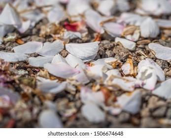 Closeup of light pink Sakura petals on brown gravel concrete or cement floor.