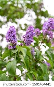 Close-up lilac flower bushes, bokeh