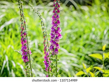 Closeup of lilac lupines in a field, with focus on flowers and background bluring into the distance.  Space for text.