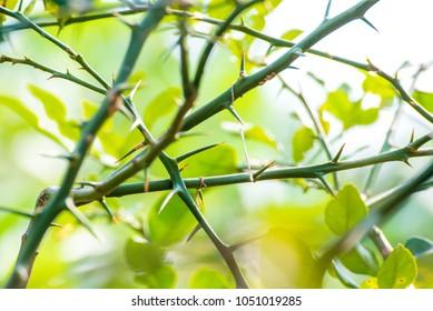 Close-Up Lime tree thorns on nature background, Bergamot tree thorns