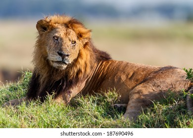 Close-up of Lion Clawed, Marsh Pride, an old Lion in Masai Mara, Kenya