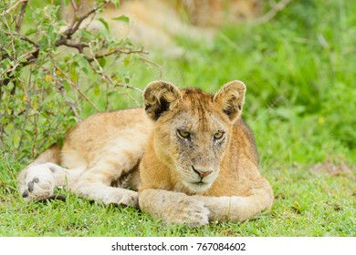 "Closeup of a  Lion cub in the rain (scientific name: Panthera leo, or ""Simba"" in Swaheli) in the Serengeti National park, Tanzania"