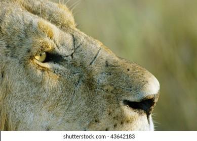 Close-up of a lion, Kenya, Africa