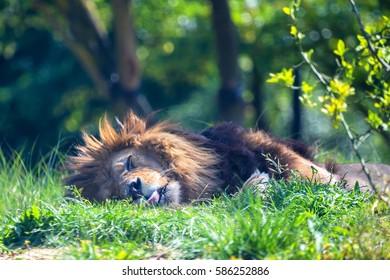 Close-up of lion or Panthera leo