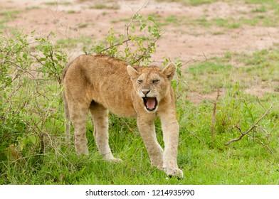 "Closeup of a  Lion pride (scientific name: Panthera leo, or ""Simba"" in Swaheli) image taken on Safari located in the Serengeti National park, Tanzania"