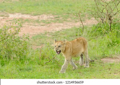 """Closeup of a  Lion pride (scientific name: Panthera leo, or """"Simba"""" in Swaheli) image taken on Safari located in the Serengeti National park in the East African country of Tanzania"""