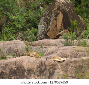 Closeup of a  Lion pride (scientific name: Panthera leo, asleep on a rock outcrop
