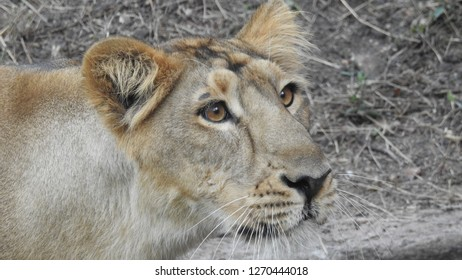 Closeup lioness in detailed view looking at camera, jungle king amazing look in port-lite and landscape. Amazing lion in forest with out-focus background in south Africa, a amazing view of lioness