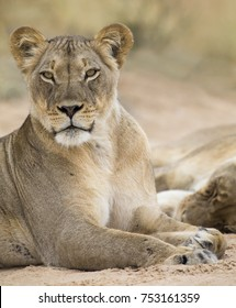 Close-up of a lioness lying down to rest on the soft Kalahari sand