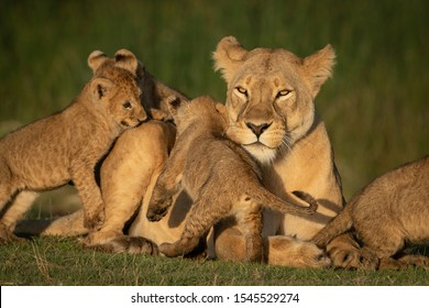 Close-up of lioness mobbed by four cubs