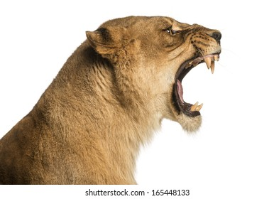 Close-up of a Lioness roaring profile, Panthera leo, 10 years old, isolated on white