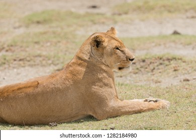 "Closeup of a  Lioness (scientific name: Panthera leo, or ""Simba"" in Swaheli)  in  Tanzania"