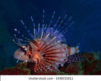 Closeup with the lionfish and also called zebrafish, firefish, turkeyfish, tastyfish or butterfly-cod during a leisure dive in Tunku Abdul Rahman Park, Kota Kinabalu, Sabah. Malaysia, Borneo.