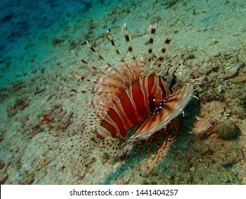 Closeup with the lionfish and also called zebrafish, firefish, turkeyfish, tastyfish or butterfly-cod during a leisure dive in Mabul Island, Semporna. Tawau, Sabah. Malaysia, Borneo.