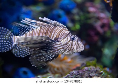 Closeup of a Lionfish (Pterois volitans) swimming in an aquarium.