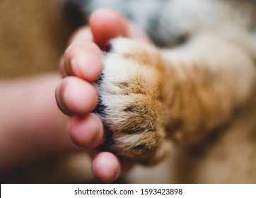 Close-up of a lion's paw in a human hand, fingers, wool, claws, friendship of a lion and a man