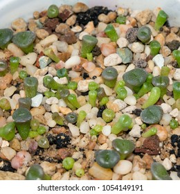 Closeup of lithops seedlings, popular succulent plant from South Africa