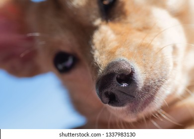 Closeup of little brown dog's nose and snout with visible face. Dog training, detection dog or sniffer dog, senses and smell concepts.