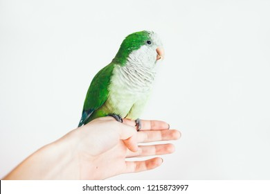 Close-up of little Monk Parakeet on white background. Photo of a green Quaker parrot sitting on woman's hand.