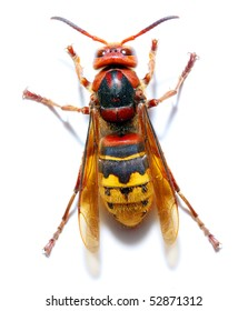 Close-up of a live European Hornet (Vespa crabro) on white background. Macro shot with shallow dof.