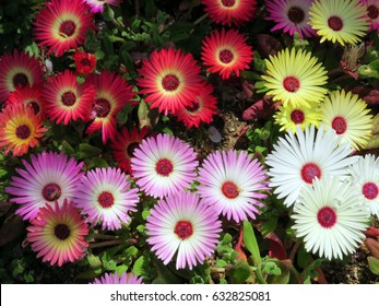 Closeup of Livingstone Daisies, Ice Plant
