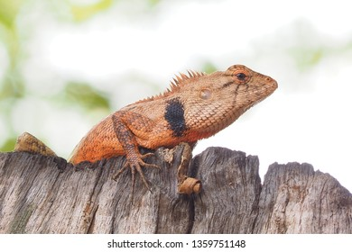 Closeup lizard blurry nature background ,chameleon on wood whit blur background,selection focus only on image