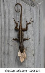 Closeup of a lizard eating a moth
