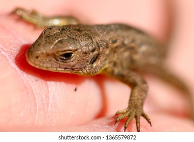 Closeup of a lizzard sitting on a hand.