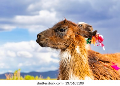 Closeup of a Llama (Lama glama) at the Andes Mountains. At background Cloudy Sky. Llamas are Domesticated South American Camelids