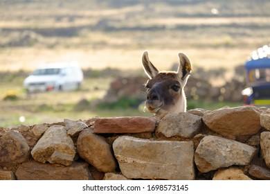 Closeup of a llama (Lama glama) poking its head over a rough stacked rock wall on a farm, near Puno, Peru